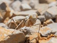 Common Ground Mantis (A)