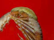 Featherstar Worm