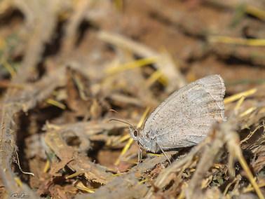 Dusky Meadow Brown (A)