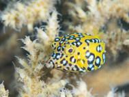Yellow Boxfish - Young Adult