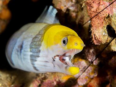 Yellow-headed Moray