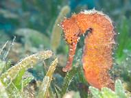 Jayakar's Seahorse