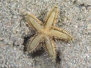 Indo-Pacific Comb Star