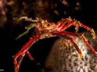 Big Decorator Crab
