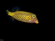 Bluetail Trunkfish - juvenile