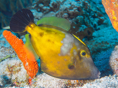 Whitespotted Filefish (Orange Variation)