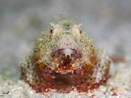 Red Sea Scorpionfish - Juvenile