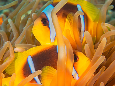 Two-banded Anemonefish