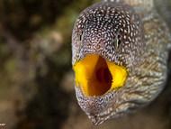 Yellowmouth Moray - Juvenile