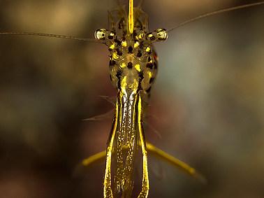 Golden Cleaner Shrimp