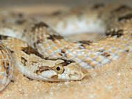 Awl-headed Snake