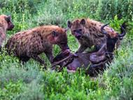 Hyaena Eating Wildebe
