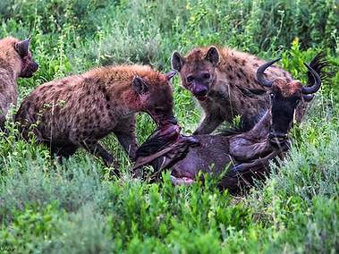 Hyaena Eating wildebe