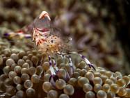 Holthuis' Anemone Shrimp (B)