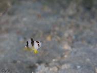 Blackbanded Damsel - Juvenile