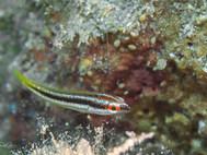 Mediterranean Rainbow Wrasse - Juvenile