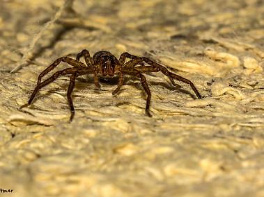 Lawn Wolf Spider