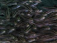 Striped-eel Catfish - Juvenile