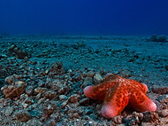 Granulated Sea Star - Choriaster granula