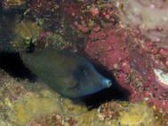 Randall's Filefish