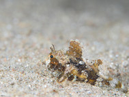Bearded Scorpionfish - Juvenile