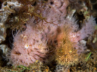 Hairy Struated Frogfish