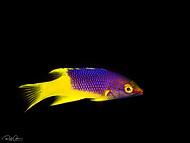 Spanish Hogfish - Juvenile