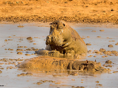 Common Hippopotamus & Baby