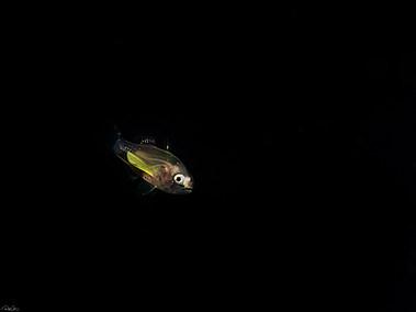 Scorpionfish - larvae