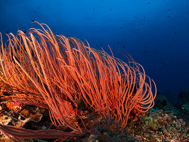 Branching Whip-like Coral