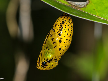 Rice Paper Butterfly - Chrysalis