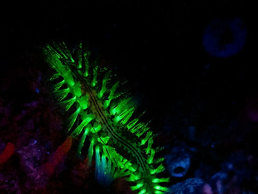 Darklined Fireworm
