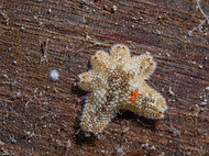 Cushion Star - Asterina gibbosa.jpg