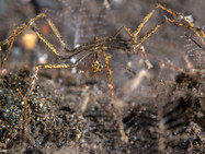 Hydroid Sea Spider with Egg's