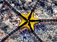 brittle-star  - Ophiuroid. sp..jpg