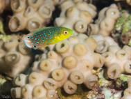 Yellowbreast Wrasse - Juvenile (A)