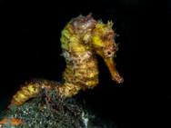 Moluccan Seahorse