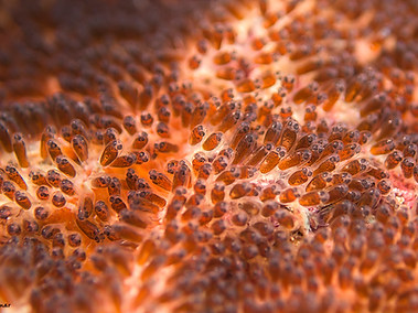 Egg's of Anemonefish