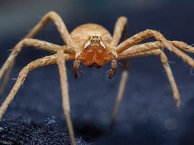 Micrommata sp.