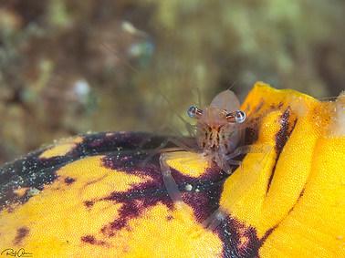 Blue-eyed Cuapetes Shrimp