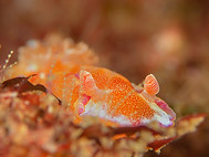 Yellow-margined Spanish Dancer (A)