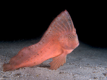 Red Indian Fish