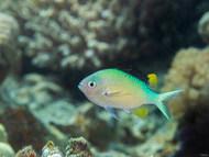 Blue-green Chromis - Nuptial Male