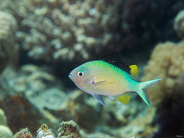Blue-green Chromis - Nuptial Male