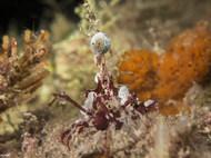 Red-eyed Decorator Crab
