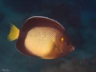 Yellow-ear Angelfish