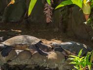Madagascar Big-headed Turtle