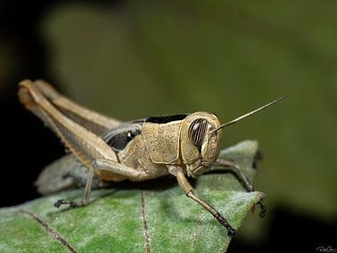Lamenting Grasshopper (A)