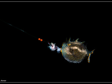 Ornate Cowfish - Male