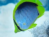 Black-Backed Butterflyfish